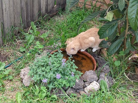 A ginger cat standing on some rocks, leaning over a terracotta dish full of murky water in a garden.