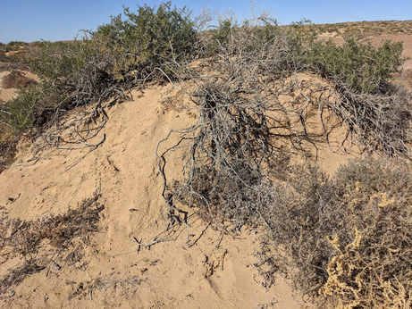 A sand dune with reddish sand and windblown vegetation hanging on to the top of it.